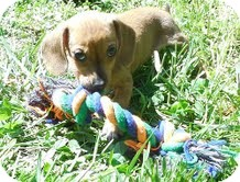 Dachshund Mix Puppy for adoption in Plainfield, Connecticut - Martha (In New England)