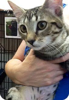 Domestic Shorthair Kitten for adoption in Webster, Massachusetts - Bunny