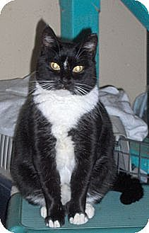 Domestic Shorthair Cat for adoption in Middletown, Connecticut - Jazzy