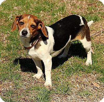 Beagle Mix Puppy for adoption in Hagerstown, Maryland - Amelia