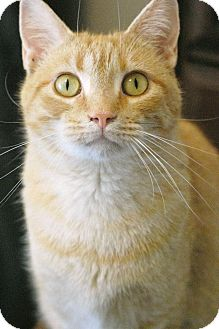 Domestic Shorthair Cat for adoption in Knoxville, Tennessee - Clementine