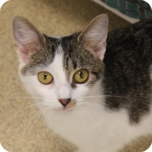 Domestic Shorthair Cat for adoption in Naperville, Illinois - Zeta