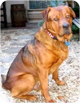 Rottweiler/Labrador Retriever Mix Dog for adoption in Marina del Rey, California - Hugo
