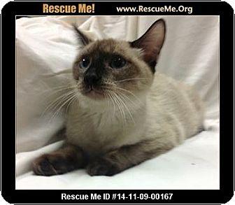Siamese Kitten for adoption in Phoenix, Arizona - Siam