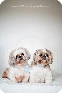 Shih Tzu Dog for adoption in Youngstown, Ohio - Shotzy ~ Adoption Pending