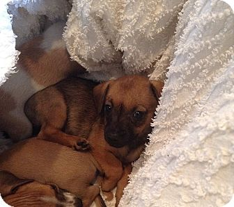 Dachshund/Chihuahua Mix Puppy for adoption in Santee, California - Baby