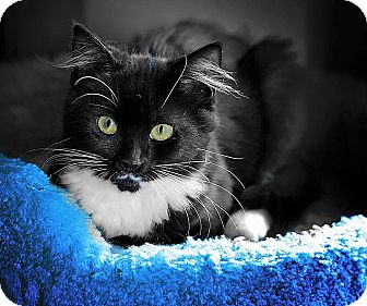Domestic Mediumhair Kitten for adoption in Oakley, California - Bo