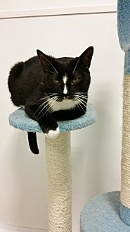 Domestic Shorthair Cat for adoption in Westbury, New York - Snoops