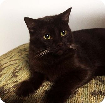 Domestic Shorthair Kitten for adoption in Lombard, Illinois - Georgie
