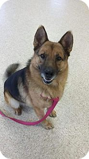German Shepherd Dog Dog for adoption in Huntington, Indiana - Loki