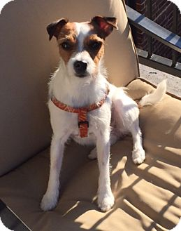 Jack Russell Terrier Dog for adoption in Dallas/Ft. Worth, Texas - Sophie in Dallas