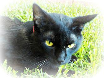 Domestic Shorthair Cat for adoption in Ocean Springs, Mississippi - Mista Luva