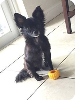 Chihuahua Dog for adoption in Miami, Florida - Pepper