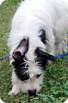 Airedale Terrier Mix Dog for adoption in Salem, West Virginia - Spot