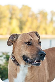 German Shepherd Dog/Mastiff Mix Dog for adoption in Portland, Oregon - Big Dog (foster)
