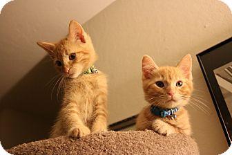 American Shorthair Kitten for adoption in San Jose, California - Tam