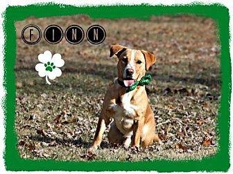 Beagle/Labrador Retriever Mix Dog for adoption in Marion, Kentucky - Finn