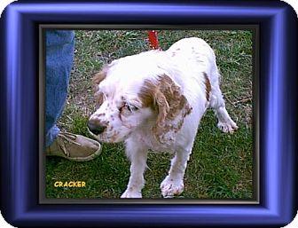 Cocker Spaniel Dog for adoption in Cushing, Oklahoma - x   Cracker adopte