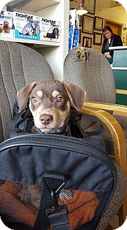 Beagle/Dachshund Mix Puppy for adoption in Baltimore, Maryland - Reese