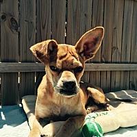 Adopt A Pet :: Hank - Del Rio, TX