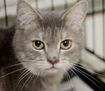 Domestic Shorthair/Domestic Shorthair Mix Cat for adoption in Huntingdon, Pennsylvania - Smokey