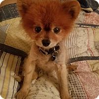 Adopt A Pet :: Teddy Boo - conroe, TX