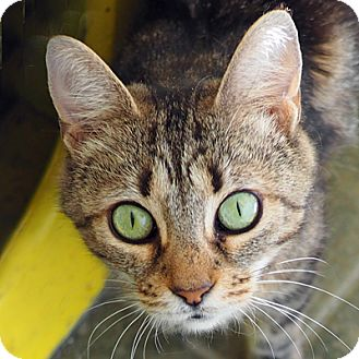 Domestic Shorthair Cat for adoption in Danville, Kentucky - Beatrix