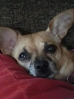 Chihuahua/Dachshund Mix Dog for adoption in Bakersfield, California - wendy
