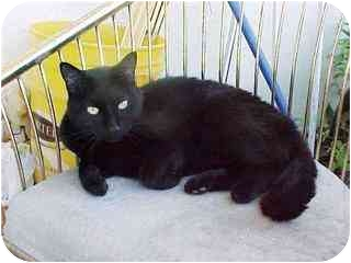 Domestic Shorthair Cat for adoption in Micanopy, Florida - URGENT:Need Holiday Home