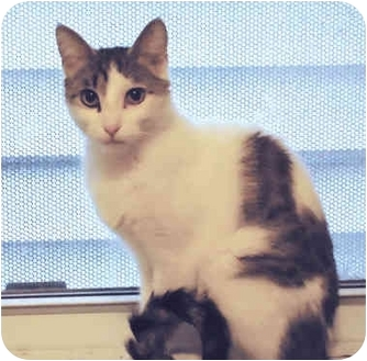 Domestic Shorthair Cat for adoption in Chicago, Illinois - Fendi