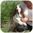Photo 1 - Basset Hound Dog for adoption in Folsom, Louisiana - Marvin