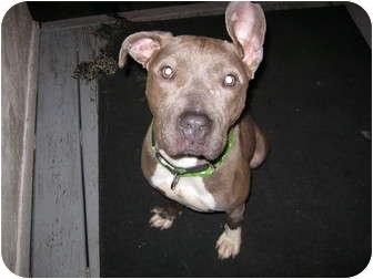 Pit Bull Terrier Mix Dog for adoption in Clarksburg, Maryland - Hanna