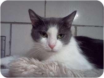 Domestic Shorthair Cat for adoption in Centerburg, Ohio - Valentine