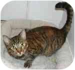American Shorthair Cat for adoption in Lake Ronkonkoma, New York - Tigger