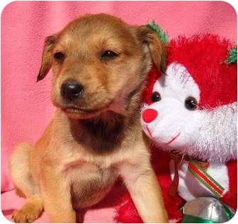 Golden Retriever Mix Puppy for adoption in Salem, New Hampshire - Blitzen