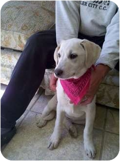 Golden Retriever/Labrador Retriever Mix Puppy for adoption in Windham, New Hampshire - Grace