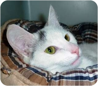 Domestic Shorthair Cat for adoption in Carmel, New York - Tinkerbell