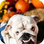 English Bulldog Mix Puppy for adoption in Eatontown, New Jersey - Bogart