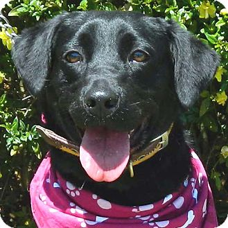 Labrador Retriever Mix Dog for adoption in McCormick, South Carolina - Sasha