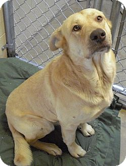 Labrador Retriever/German Shepherd Dog Mix Dog for adoption in Wickenburg, Arizona - JEB
