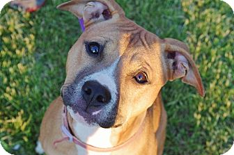 American Pit Bull Terrier Mix Puppy for adoption in Reisterstown, Maryland - Princess Leia