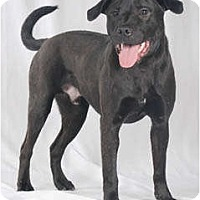 Labrador Retriever/American Staffordshire Terrier Mix Dog for adoption in Chicago, Illinois - Duster