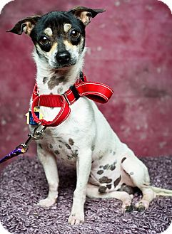 Rat Terrier Mix Dog for adoption in Houston, Texas - Dobby
