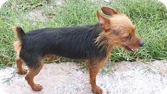 Yorkie, Yorkshire Terrier Dog for adoption in Homestead, Florida - Mikey