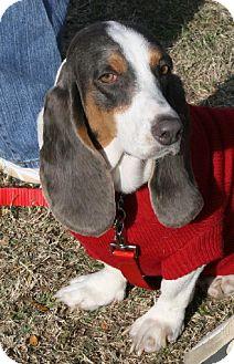 Basset Hound Dog for adoption in Grapevine, Texas - Polly Anna
