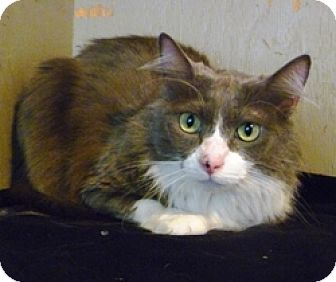Domestic Longhair Cat for adoption in Lathrop, California - Gracie