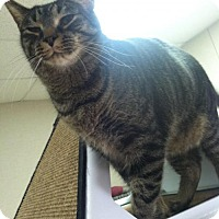 Domestic Shorthair Cat for adoption in Frankenmuth, Michigan - Bernard