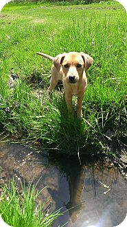 Labrador Retriever/Hound (Unknown Type) Mix Puppy for adoption in New Oxford, Pennsylvania - Gabby