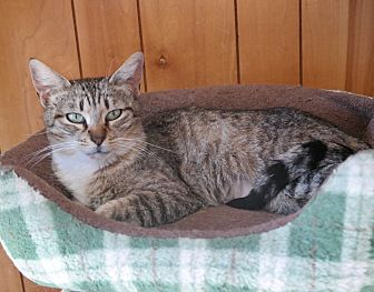 Domestic Shorthair Cat for adoption in San Pablo, California - SANDRA