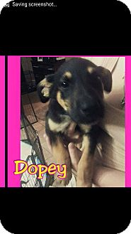 Labrador Retriever Mix Puppy for adoption in Mesa, Arizona - Dopey